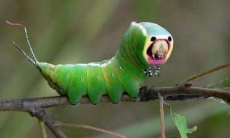 Гусениця великої гарпії (dicranura vinula)