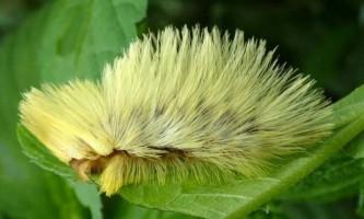 Гусениці метеликів з сімейства мегалопігід