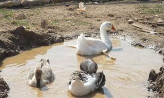 Водоймище для гусей