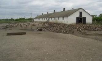 Гусяча ферма - бізнес план
