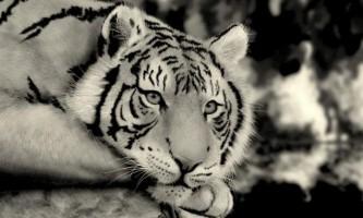 Хабаровчане просять володимира путина захистити амурських тигрів від браконьєрів