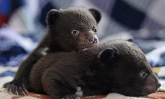 Хабаровські захисники тварин взяли під опіку двох дитинчат гімалайського ведмедя