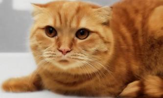 Хайленд фолд (шотландська висловуха довгошерста кішка)