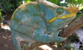 Хамелеон парсона - різнокольоровий тропічний житель