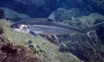 Ханос - молочна риба