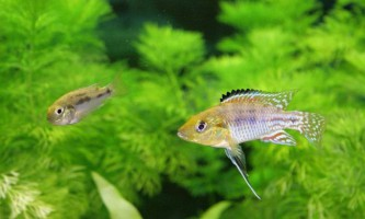 Хаплохроміса філандер: жителі акваріумів