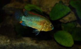 Хаплохроміса мультиколор - акваріумна рибка, родом з африки