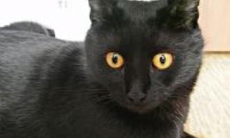 Характер бомбейської кішки