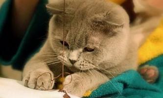 Характер британської кішки: англійська гордовитість або ласкава плюшка?
