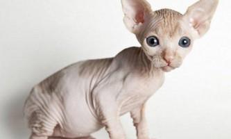 Характер і особливості змісту бесшерстной кішки сфінкса