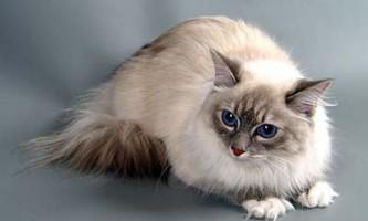 Характер і поведінка невської маскарадною кішки - кращого співрозмовника серед котячих