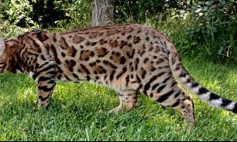 Характер кішки бенгальської породи, догляд за нею і історія появи