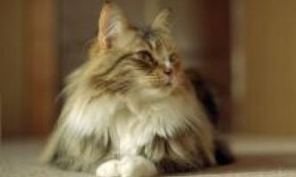 Характер норвезької кішки