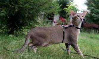 Характер орієнтальної кішки