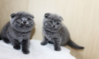 Характер шотландських висловухих кішок (скоттиш фолд)