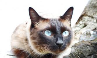 Характер тайської кішки і особливості поведінки