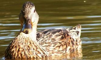 Характеристика поширеною дикої качки крижня