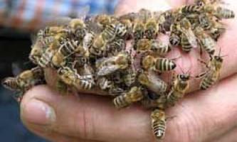Характеристики та відмінні риси бджіл породи карника
