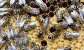 Характеристики та відгуки про карпатську породу бджіл, їх гідності