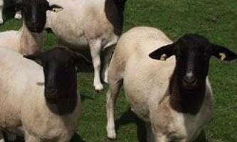 Характеристики продуктивності і опис екстер`єру овець породи дорпер