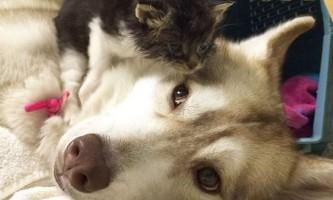 Хаска і кошеня - приклад турботи, якому позаздрять люди