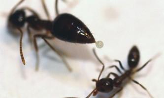 Хімічні війни мурах: як каліфорнійський мураха бореться з аргентинським загарбником