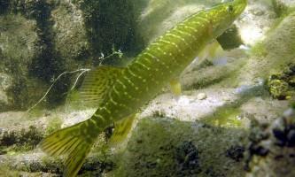 Хижа риба щука