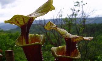 Хиже рослина надихнуло творців неймовірно слизького матеріалу
