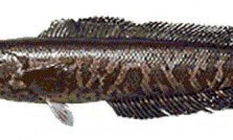 Хижі акваріумні рибки