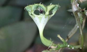 Хитрий квітка ловить мух-нахлібників на запах вмираючих бджіл