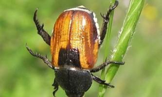 Хлібний жук - ворог врожаю