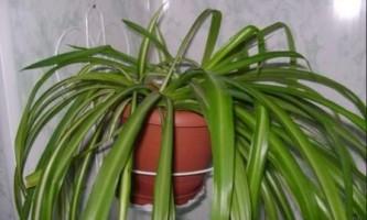 Хлорофітум догляд, пересадка, фото рослини