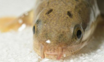 Ходячі риби розкрили один з головних секретів еволюції