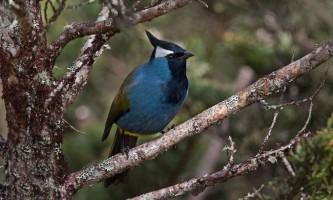 Чубата параміта - унікальна птах