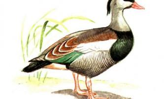 Чубата пеганка - качка з видатною історією