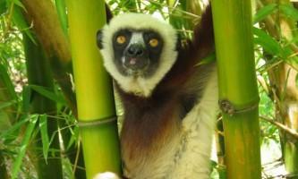 Чубаті індри - дивовижні тропічні примати