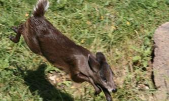 Чубаті олені - тварини з «зачіскою»