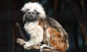 Чубатий тамарин, або мавпочка пінчем