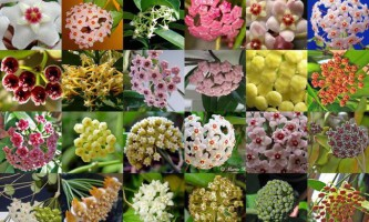 Хойя (hoya) - вічнозелена квітуча ліана