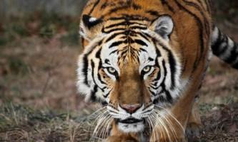 Хоробрий пес з індії пожертвував життям, щоб врятувати від тигра свого господаря
