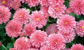 Хризантема - квітка самураїв