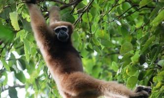 Хулока - «співаюча» мавпа