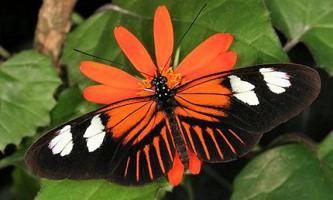 Ідентифіковано гени, однаково окрашивающие метеликів різних видів