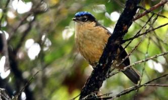 Ифрита ковальді - отруйна птах