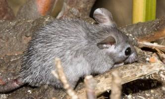 Голчастим миші, що це за тварини?