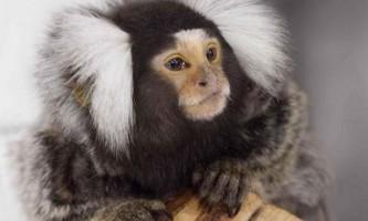 Мавпи виявилися потенційними музикантами