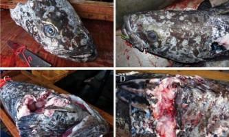 Іхтіологи вивчили наслідки битви гігантського кальмара з гігантською рибою