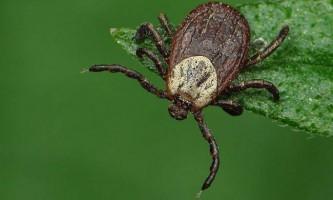 Іксодові кліщі - рознощики небезпечних захворювань
