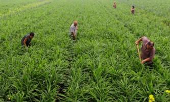 Імбир: умови вирощування