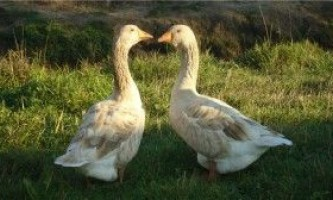 Володимирські гуси